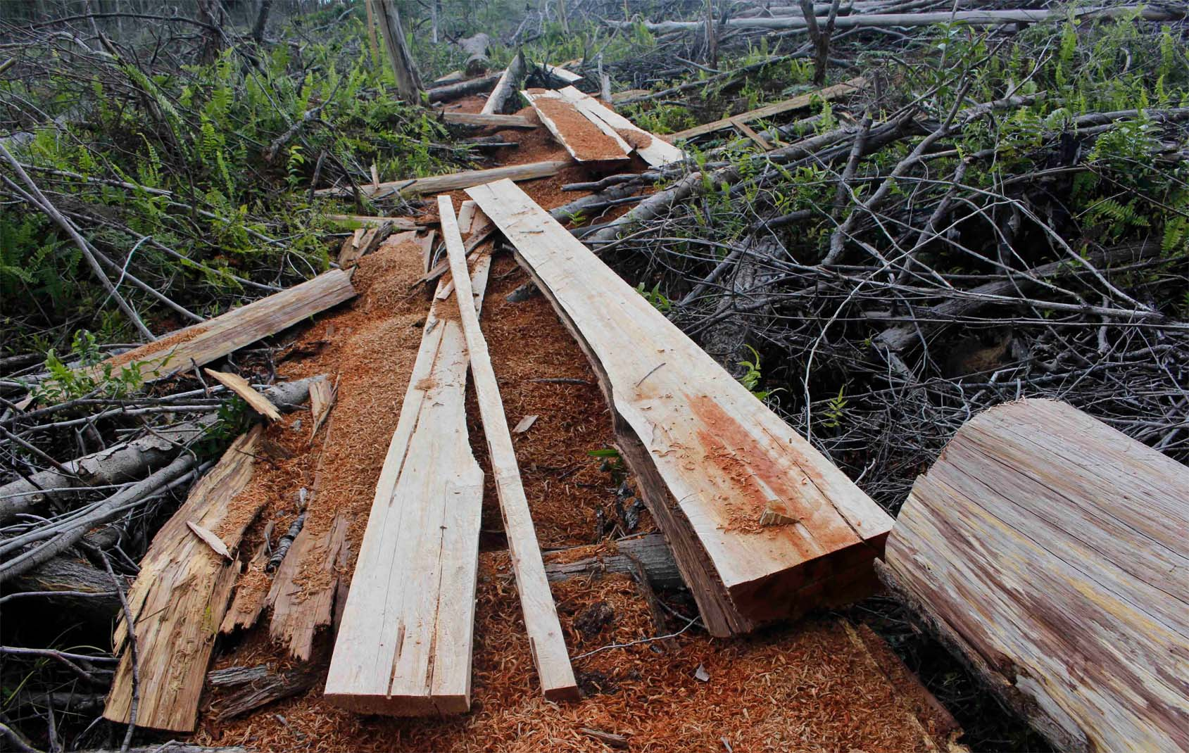 Illegal Logging in Sebangau National Park Still Continues